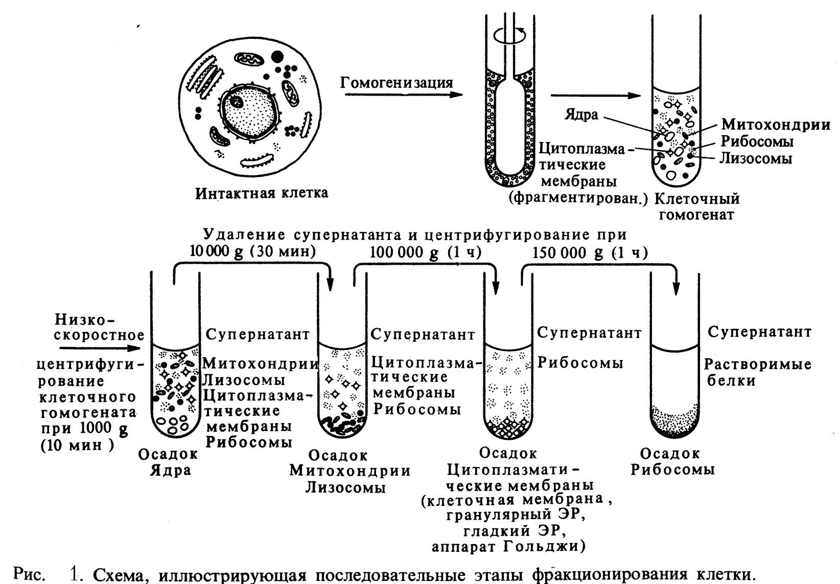 Радиоаутография фото