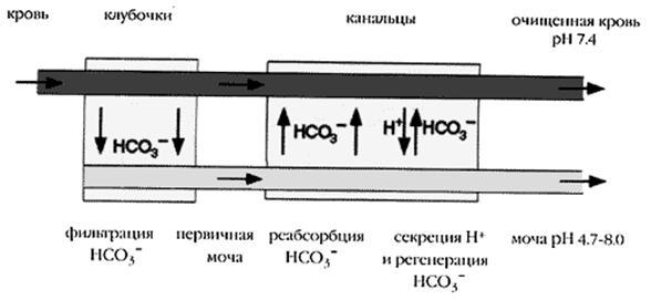 Буферные системы организма человека