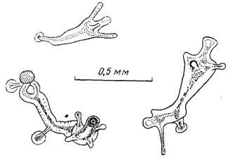Морфофункциональныи анализ временной колонии на примере гидроида moeris1a maeotica
