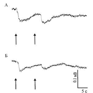 Световая депривация не влияет на характер протекания регенерации глаза гигантской африканской улитки Achatina fulica