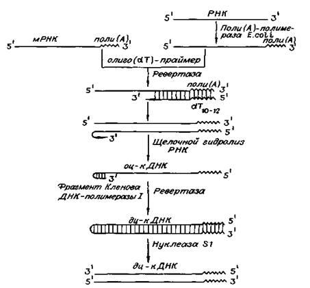 Схема получения кДНК с