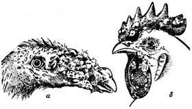 Рис. 21. Голова индюка (а) и петуха (б) при оспе