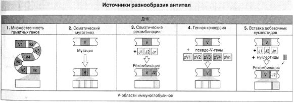 Рис. 2. Пять источников разнообразия антител ( По Ройт и др., 2000).