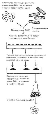 Рис. 2. Очистка и амплификация специфической последовательности ДНК утем клонирования ДНК в бактериальных клетках