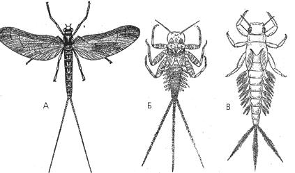 Поденки: А – взрослая; Б, В – личинки