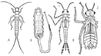 Личинки водных насекомых: А – веснянки; Б – иловой мухи; В – стрекоз (1 – равнокрылой, 2 – разнокрылой)