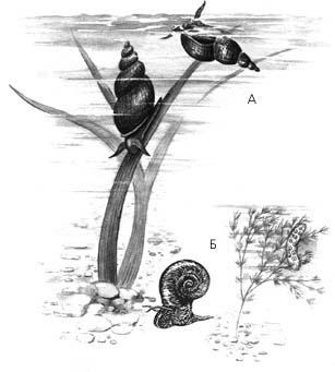 Брюхоногие моллюски: А – обыкновенный прудовик; Б – катушка роговидная