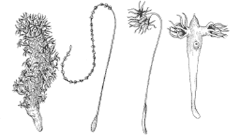 Представители отряда Морские перья