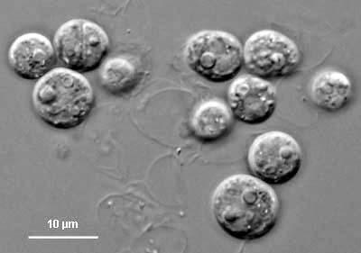 Symbiodinium microadriaticus