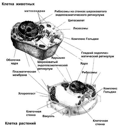 Рис. 2. Строение клеток эукариот