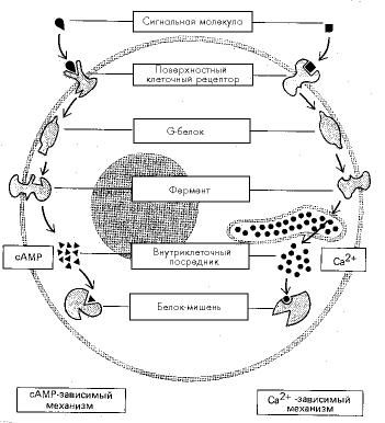 Рис. 2. Главные механизмы образования внутриклеточных мессенджеров