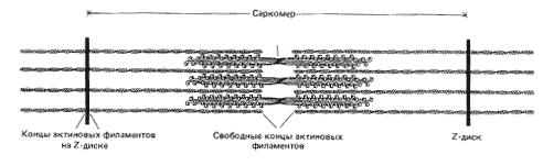 Рис. 5. Схема строения скелетной мышцы (саркомера)