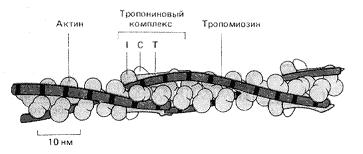 Рис. 7. Схема расположения на актиновом филаменте тропонина и тропомиозина