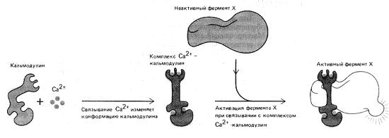 Рис. 12. Механизм активации Ca2+-зависимого фермента