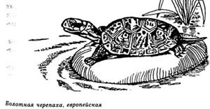 болотная черепаха, европейская черепаха, картинка, рисунок