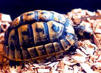 средиземноморская черепаха, черепаха средиземноморская (Testudo graeca), фото, фотография