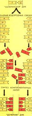 Схема удвоения ДНК